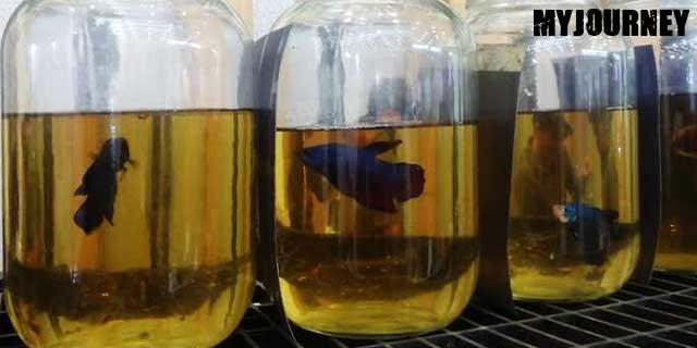 Manfaat daun ketapang untuk budidaya ikan cupang