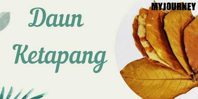 Manfaat daun ketapang untuk kesehatan